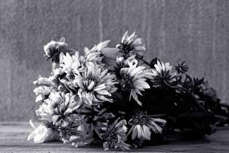 Withered white chrysanthemum