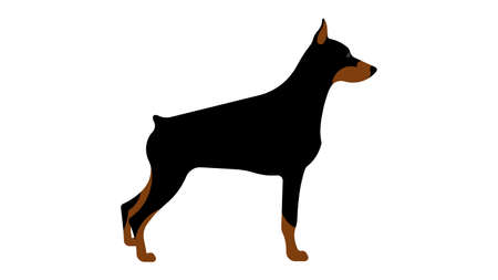 Doberman. Full height dog, side view, silhouette. Vector isolated illustration of a thoroughbred dog.