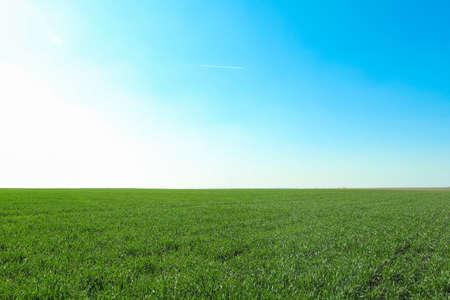 Campo di erba verde, spazio per il testo. Bellissimo verde primaverile