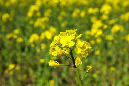 Rapeseed field, closeup and space for text. Beautiful spring bloom
