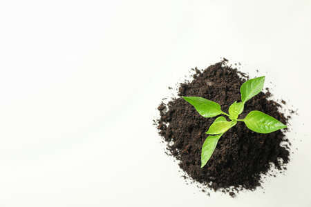 Saplings seedlings in black soil on white background, top view and space for text. Environmental protection. Agriculture