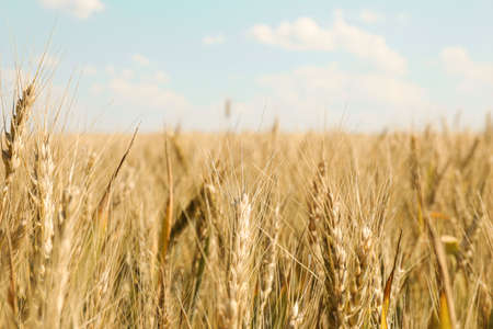 Wheat field against cloudy blue sky, space for text