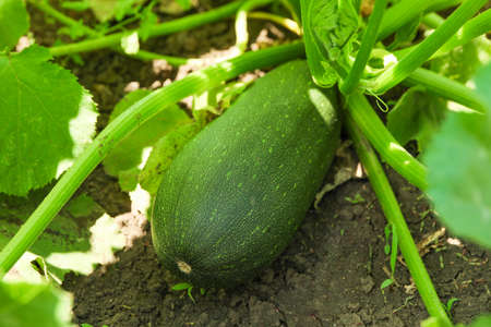 Green zucchini plant and fruit, close up 免版税图像