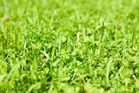 Fresh green grass texture. Natural background, close up Banque d'images - 128746100