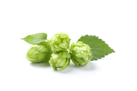 Green fresh hop cones isolated on white background, close up