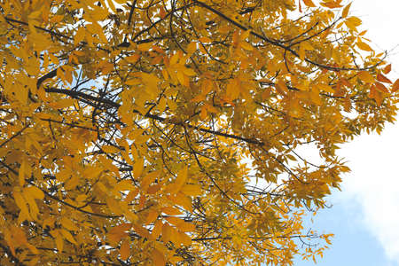 Tree with yellowed leaves against blue sky. Autumn landscape Imagens