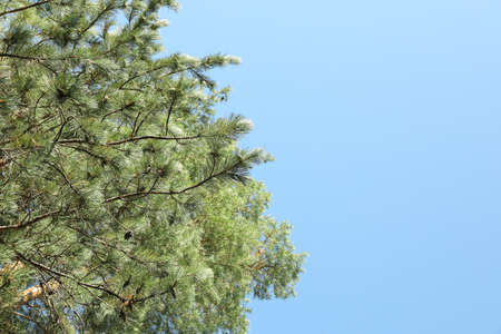 Top of pine trees against blue sky. Active leisure