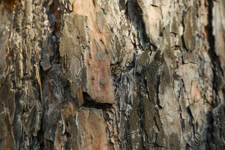 Pine tree bark texture, close up and space for text