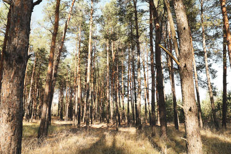 Tall pine trees in forest. Beautiful sunny day Zdjęcie Seryjne