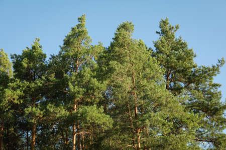 Top of the pine trees against blue sky. Sunny day Zdjęcie Seryjne