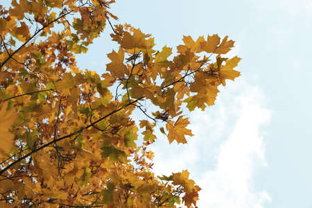 Trees with yellowed leaves against blue sky. Autumn landscape Standard-Bild - 133929660