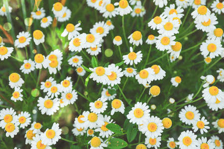 Beautiful field daisies as background, top view
