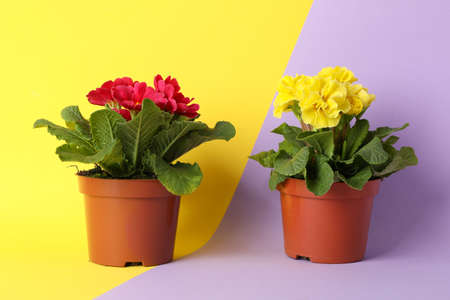 Primroses in pots on two tone background, space for text