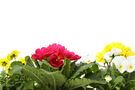 Primroses and pansies isolated on white background, close up