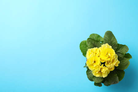 Yellow primrose in pot on blue background, space for text