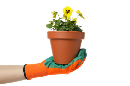 Hand in gardening glove holds pansies, isolated on white background