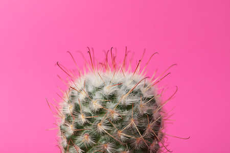 Cactus on pink background, close up. House plant Stock Photo