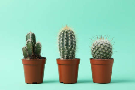 Cacti in pots on mint background, space for text