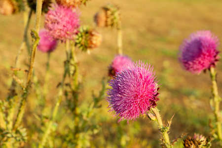 Beautiful purple burdock flowers. Summer morning. Summer nature