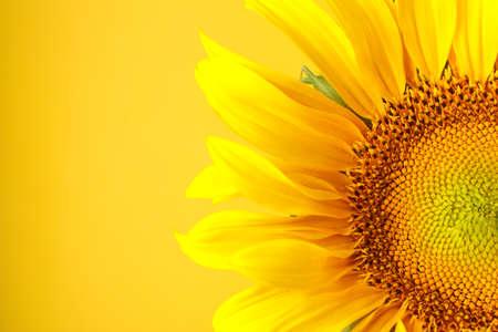 Beautiful sunflower on yellow background, close up