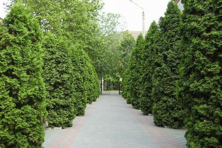 Green thuja trees alley road. Coniferous plant Zdjęcie Seryjne