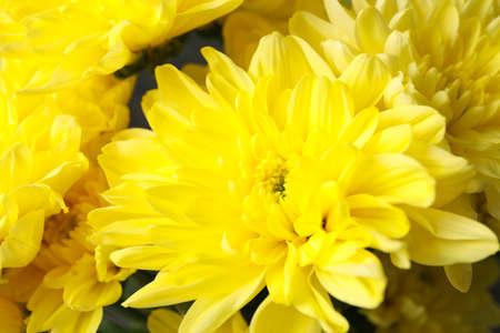 Beautiful yellow chrysanthemum on whole background, close up