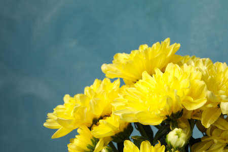 Beautiful yellow chrysanthemums on blue background, space for text
