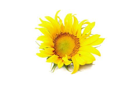Beautiful single sunflower isolated on white background