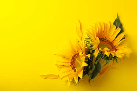 Beautiful sunflower on yellow background, space for text