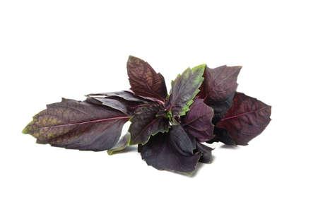 Fresh purple basil isolated on white background