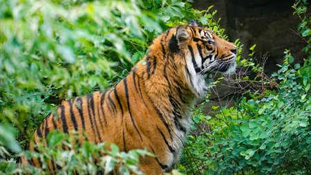 Tigre caché