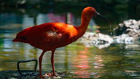 Ibis écarlate avec de l'eau dans son bec Banque d'images