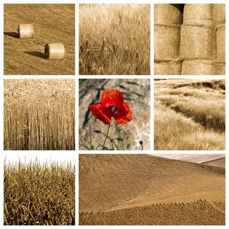 arando: Collage de fotos sobre trigo