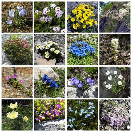 Alpine flowers - collage Stock Photo - 10386899