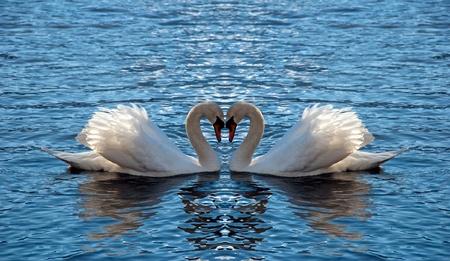 Két hattyú tükrözött néz ki, mint egy szív Stock fotó