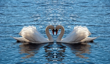 water birds: Two swan mirrored looks like a heart Stock Photo
