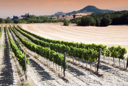 val dorcia: Beautiful rows of grapes in a vineyard in Tuscany at the sunset time - Val dOrcia  - Italy