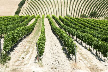 Beautiful rows of grapes in a vineyard in Tuscany - Val dOrcia  - Italy photo