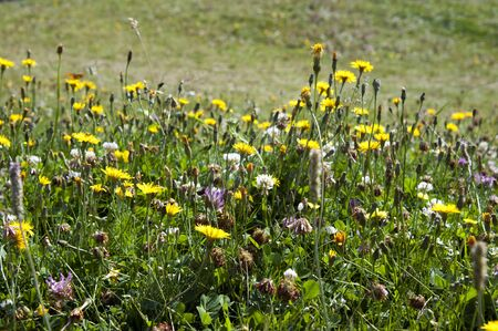 Mountain flowers meadow in the Alps photo