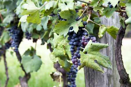 vinery: Close up of wine grapes ready for harvest Stock Photo