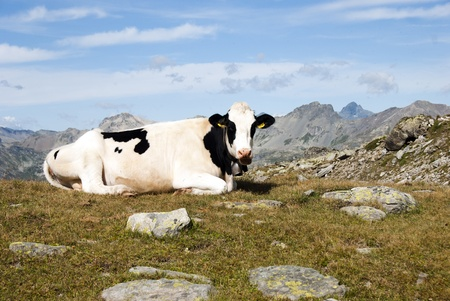 A cow in mountains alps photo