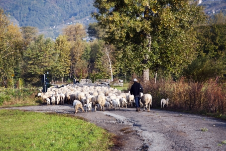 Shepherd with his sheep on the street photo