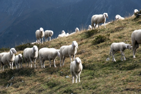 A flock of sheep in Alps mountains photo