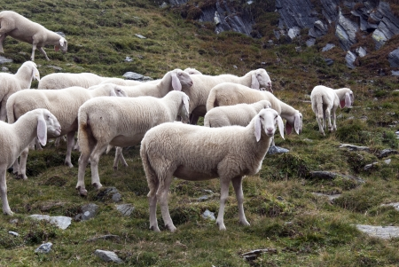 muster: Some sheep in Alps mountains