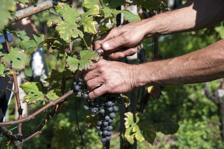 wine growing: bunch of grapes being picked from row Stock Photo