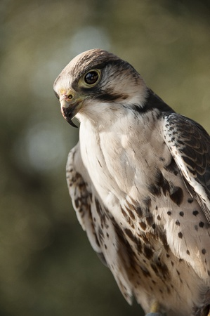 aerial animal: Beautiful  falcon against green background