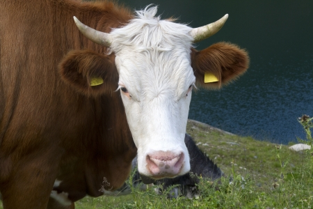 closeup cow face: A portrait of a brown  cow