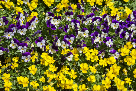 flower bed: primrose flower bed - yellow and violet Stock Photo