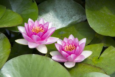 lirio acuatico: Los lirios de agua o flores de loto en un estanque de jardín