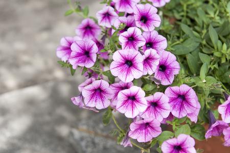 petunias: A big petunias pot in the garden